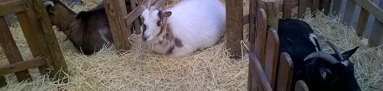 cabras descansando en la granja